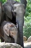 μητέρα ελεφάντων μόσχων Στοκ εικόνα με δικαίωμα ελεύθερης χρήσης