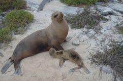 Μητέρα λιονταριών θάλασσας και cub της Στοκ Εικόνες