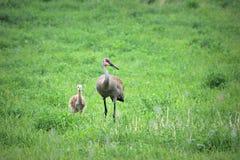 Μητέρα και μωρό γερανών Sandhill στοκ εικόνα