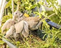 Μητέρα και μωρό turtledoves Στοκ Φωτογραφίες