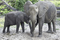 Μητέρα και μόσχος ελεφάντων Στοκ Εικόνες