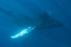 Μητέρα και μόσχος φαλαινών Humpback υποβρύχιοι Στοκ Εικόνες