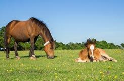 Μητέρα και νέο Foal Στοκ Φωτογραφία