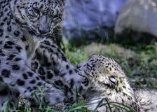 Μητέρα και Cub λεοπαρδάλεων χιονιού Στοκ φωτογραφία με δικαίωμα ελεύθερης χρήσης