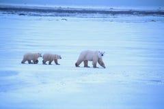 Μητέρα και Cubs πολικών αρκουδών στοκ φωτογραφία