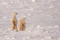 Μητέρα και Cubs πολικών αρκουδών που στέκονται στα οπίσθια πόδια Στοκ φωτογραφία με δικαίωμα ελεύθερης χρήσης