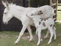 Μητέρα και foal γαιδάρων Στοκ εικόνα με δικαίωμα ελεύθερης χρήσης