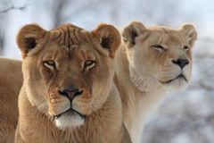 μητέρα λιονταριών μωρών Στοκ εικόνες με δικαίωμα ελεύθερης χρήσης