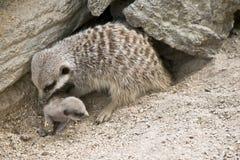 μητέρα μωρών meerkat Στοκ Φωτογραφίες