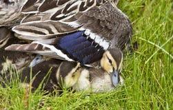 μητέρα παπιών μωρών Στοκ Φωτογραφία