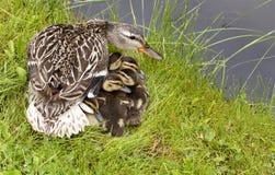 μητέρα παπιών μωρών Στοκ Εικόνα