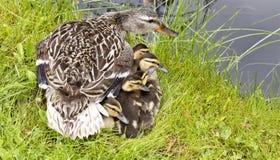 μητέρα παπιών μωρών Στοκ Εικόνες