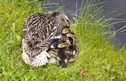 μητέρα παπιών μωρών Στοκ εικόνα με δικαίωμα ελεύθερης χρήσης