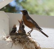μητέρα πουλιών μωρών Στοκ Φωτογραφία