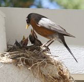 μητέρα πουλιών μωρών Στοκ εικόνα με δικαίωμα ελεύθερης χρήσης