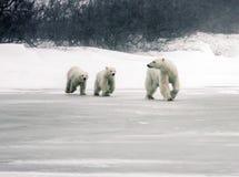 Μητέρα πολικών αρκουδών με τα δίδυμα Στοκ φωτογραφία με δικαίωμα ελεύθερης χρήσης