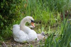 Μητέρα του Κύκνου με τη συνεδρίαση μικρών κύκνων μωρών στη φωλιά επώασης στοκ φωτογραφία