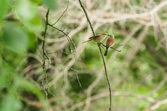 Μητέρα χασάπης-πουλιών ` s Στοκ φωτογραφία με δικαίωμα ελεύθερης χρήσης