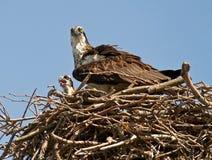 Μητέρα Osprey και μωρό Στοκ φωτογραφία με δικαίωμα ελεύθερης χρήσης