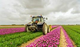 Μηχανοποιημένος κόβοντας τα κεφάλια λουλουδιών σε έναν τομέα τουλιπών στοκ εικόνες με δικαίωμα ελεύθερης χρήσης