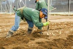 Μη αναγνωρισμένοι κηπουροί, που φυτεύουν calla πατατών τον κρίνο σε ένα greenh Στοκ φωτογραφία με δικαίωμα ελεύθερης χρήσης