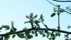 Μη ανθισμένος οφθαλμός ενός δέντρου μηλιάς, λουλούδι του ρόδινου χρώματος σε έναν κλάδο Ταλάντευση στον αέρα απόθεμα βίντεο
