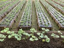 Μη τοξικός οργανικός φυτικός κήπος για τα καλά τρόφιμα και το γεύμα στοκ εικόνες με δικαίωμα ελεύθερης χρήσης