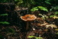 Μη φαγώσιμο μανιτάρι κοντά στο mossy κολόβωμα δέντρων στο δάσος φθινοπώρου Στοκ Εικόνες