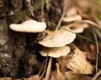 Μη φαγώσιμο μανιτάρι στα ξύλα στη φύση Στοκ Εικόνες