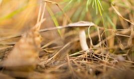 Μη φαγώσιμο μανιτάρι στα ξύλα στη φύση Στοκ Φωτογραφία