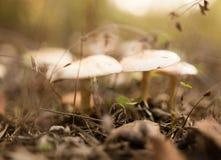 Μη φαγώσιμο μανιτάρι στα ξύλα στη φύση Στοκ φωτογραφία με δικαίωμα ελεύθερης χρήσης