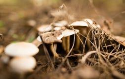 Μη φαγώσιμο μανιτάρι στα ξύλα στη φύση Στοκ Φωτογραφίες