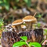 Μη φαγώσιμο μανιτάρι Astreopora Dodunekova lat Asterophora lycope Στοκ Φωτογραφίες
