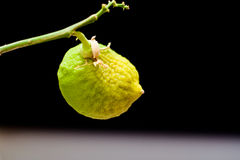 Μη ώριμο λεμόνι φρούτων σε έναν κλάδο σε ένα μαύρο υπόβαθρο Στοκ εικόνες με δικαίωμα ελεύθερης χρήσης