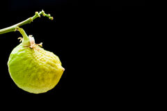 Μη ώριμο λεμόνι φρούτων σε έναν κλάδο σε ένα μαύρο υπόβαθρο Στοκ Φωτογραφίες
