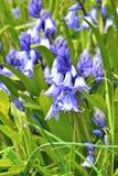 Μη-scripta Hyacinthoides - κοινό bluebell στοκ φωτογραφία με δικαίωμα ελεύθερης χρήσης