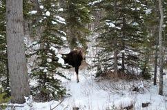 Μια άλκη στέκεται μόνο στο δάσος στο μέσο του χειμώνα! Στοκ εικόνα με δικαίωμα ελεύθερης χρήσης