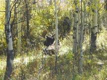 μια άλκη στα ξύλα είναι καταψύχοντας στο έδαφος στοκ εικόνα