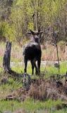 Μια άλκη ταύρων που περπατά την άνοιξη πίσω στο δάσος Στοκ Φωτογραφία