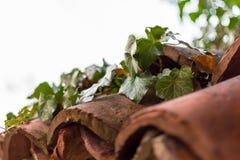 Μια άμπελος κισσών στα καταπονημένα κεραμίδια στεγών ενός παλαιού φράκτη Στοκ Εικόνες