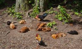 Μια άνετη ζωντανή ομάδα κοτόπουλου σε ένα δάσος στις Αζόρες Στοκ εικόνες με δικαίωμα ελεύθερης χρήσης