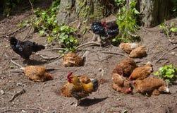 Μια άνετη ζωντανή ομάδα κοτόπουλου σε ένα δάσος στις Αζόρες Στοκ Εικόνα