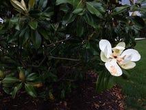 Μια άνθιση Magnolia Στοκ Φωτογραφίες
