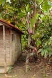 Μια άποψη ενός δέντρου κακάου, φυτεία κοντά σε Baracoa - Κούβα στοκ φωτογραφία με δικαίωμα ελεύθερης χρήσης