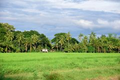 Μια άποψη των τομέων ρυζιού Στοκ Εικόνες