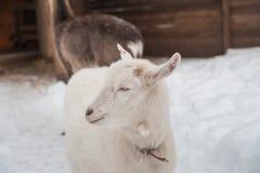 Μια άσπρη αίγα στο χιόνι στέκεται το απόγευμα Στοκ εικόνα με δικαίωμα ελεύθερης χρήσης