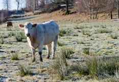 Μια άσπρη αγελάδα με μακρυμάλλη Στοκ Εικόνα
