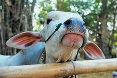 Μια άσπρη αγελάδα Στοκ φωτογραφίες με δικαίωμα ελεύθερης χρήσης