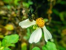 Μια άσπρη αράχνη πιάνει μια μύγα σε ένα λουλούδι στοκ εικόνες