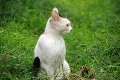 Μια άσπρη γάτα, μια γάτα Στοκ Εικόνα